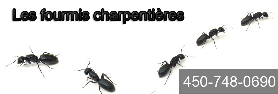 comment se d barrasser des fourmis charpenti res. Black Bedroom Furniture Sets. Home Design Ideas